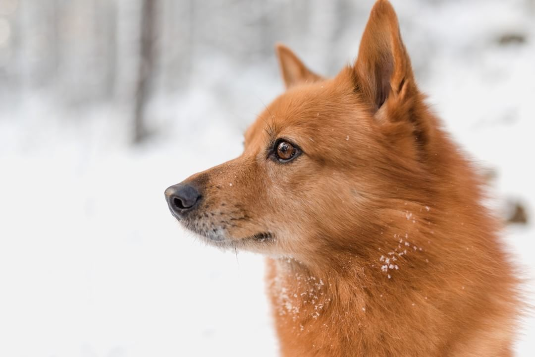Nutrolin On Instagram Many Brilliant Things Come From Finland This Beautiful Finnish Spitz And Nutrolin Oils J Finnish Spitz Smartest Dog Breeds Pretty Dogs