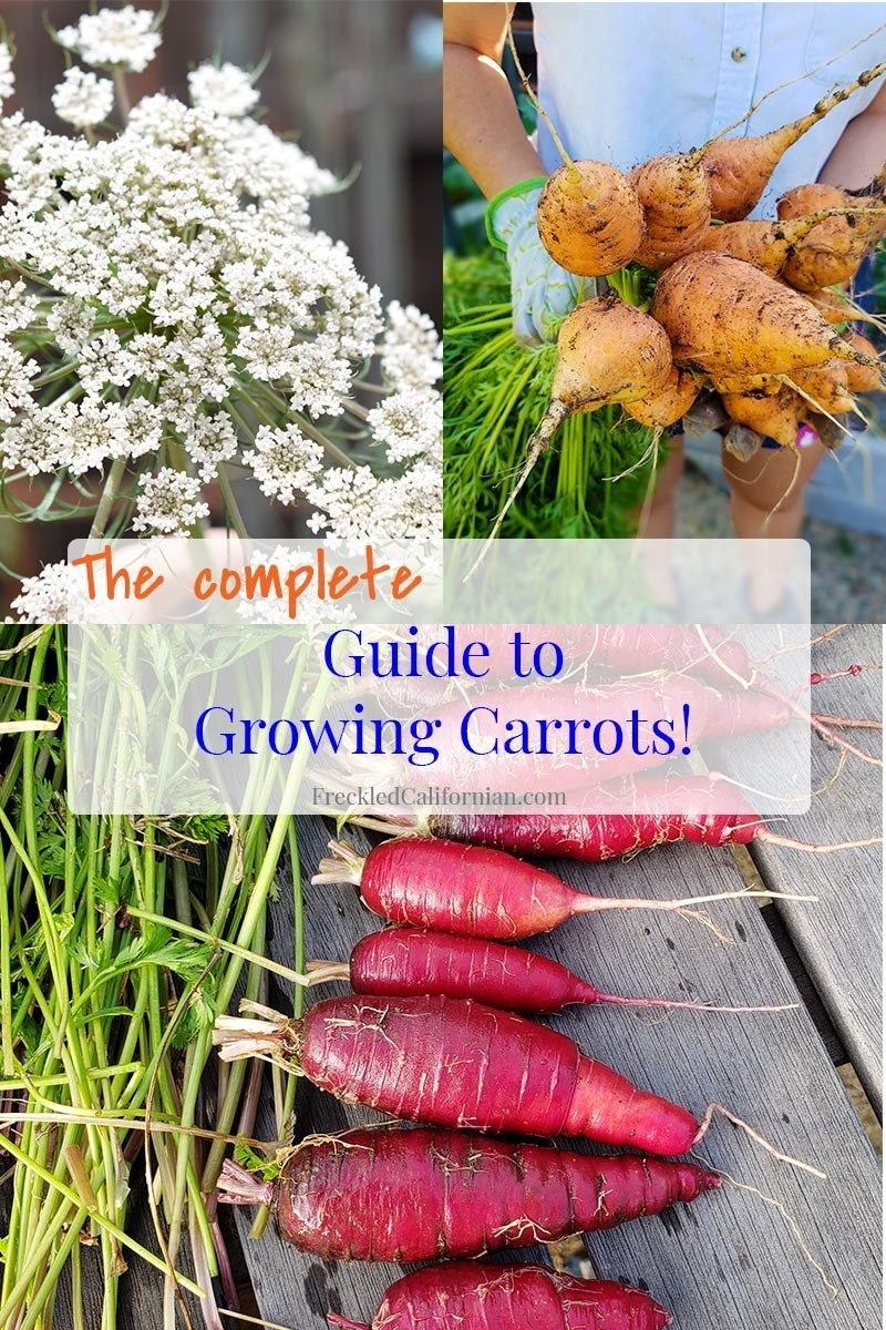I Ll Show You How To Grow Carrots In Your Own Backyard You Can