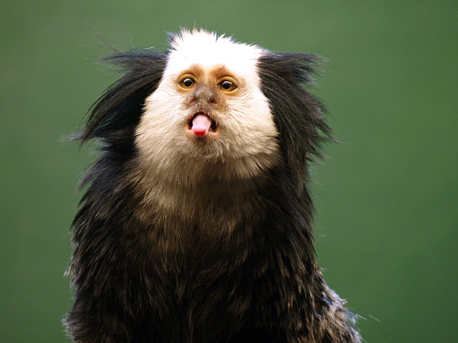 Marmosets With Attitude | Wildlife park, Primates, Animals