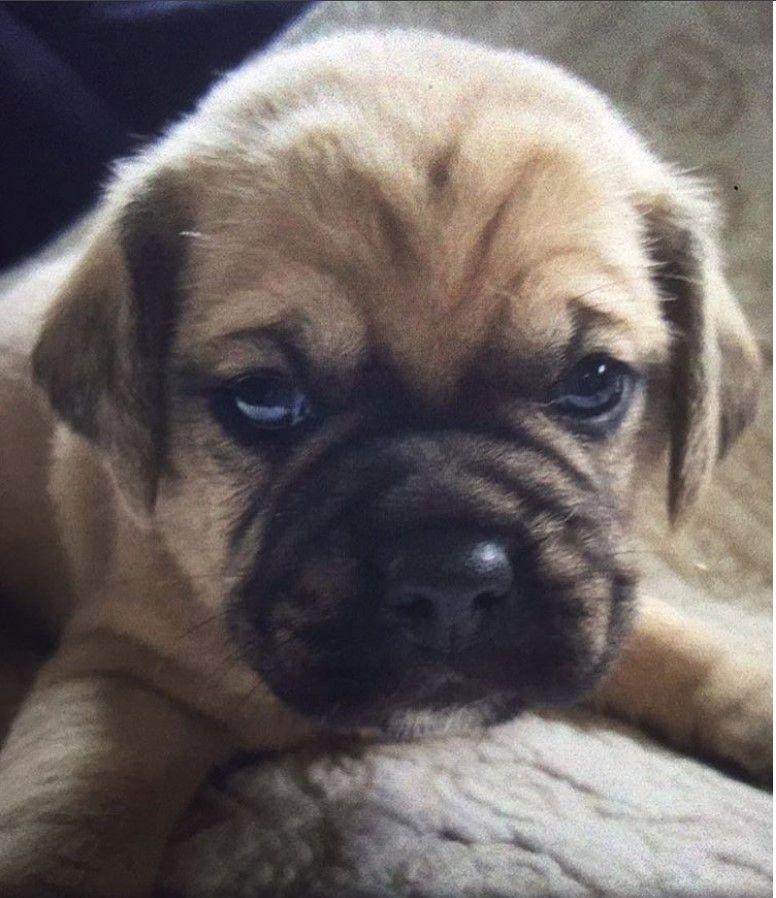 Puggle Beagle Pug Mix Dog Mixes French Bulldog Pug Mix Pug Mix