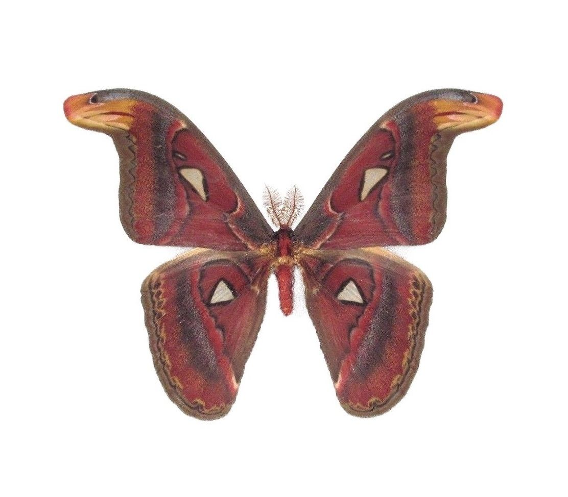 Attacus Atlas Snake Mimic Saturn Moth Male Indonesia