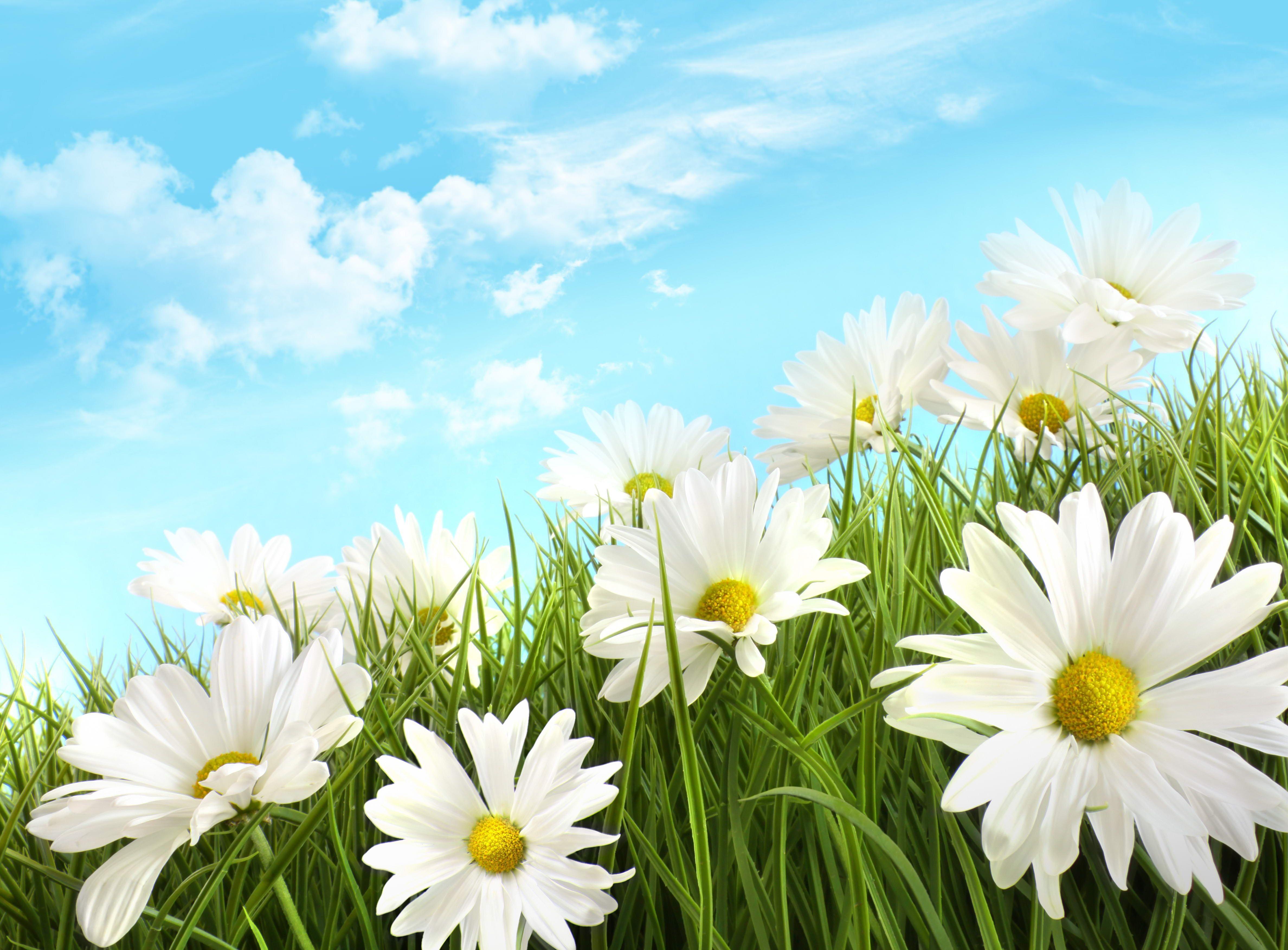 HQ Definition Wallpaper Desktop daisy | scream | Daisy field