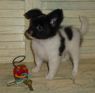 Papillon Puppy Akc Male See New Pics As Of 11 06 13 On My Ebay Ad And Website Www Tejastlittlecutiechihuahuas Com Papillon Puppy Puppies Dogs And Puppies