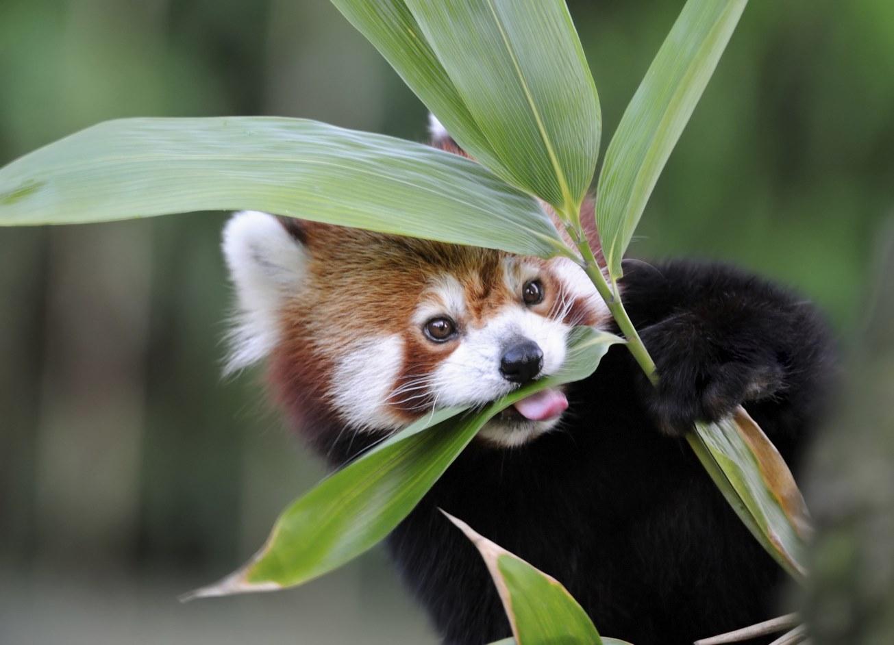 red panda | Красные панды, Животные, Милые животные