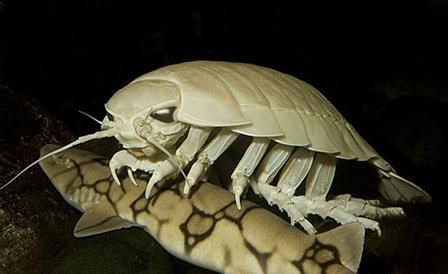 Image result for giant isopod