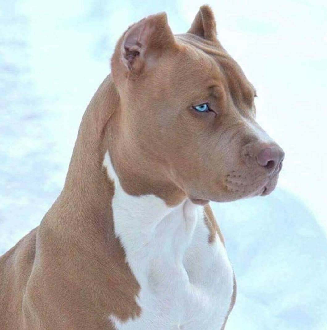 Beautiful dog pitbull fur babies pinterest beautiful dog pitbull voltagebd Choice Image