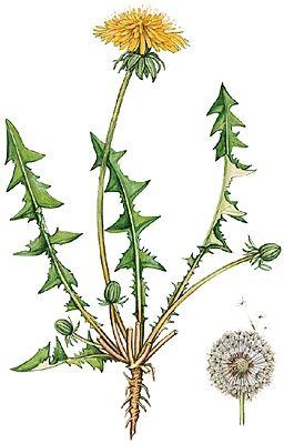 Pissenlit Weeds The Beauty Pinterest Pissenlit Dessin Fleur