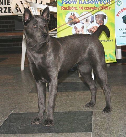 ส น ขไทยหล งอาน Thai Ridgeback Dog Dog Breeds Thai Ridgeback Dogs
