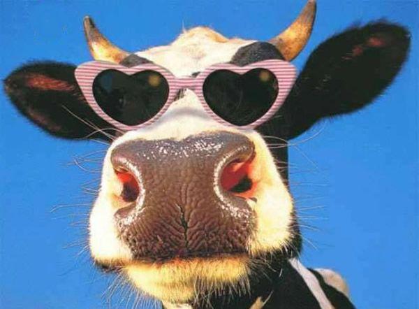 Vaca de óculos de Sol de Coração  vacas vaca oculos de sol vaca ray ban  cara… 2ca95a31b5