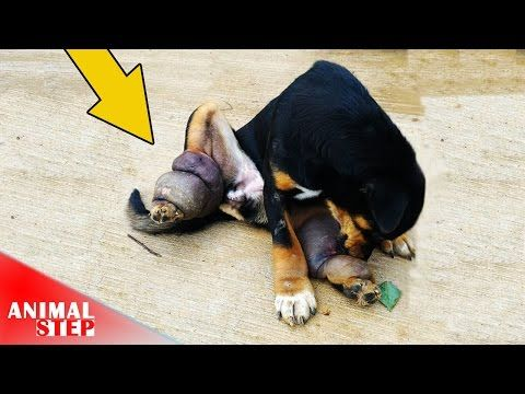 Poor Dog Extremely Swollen on His Back Legs or Lymphatic Filariasis - YouTube