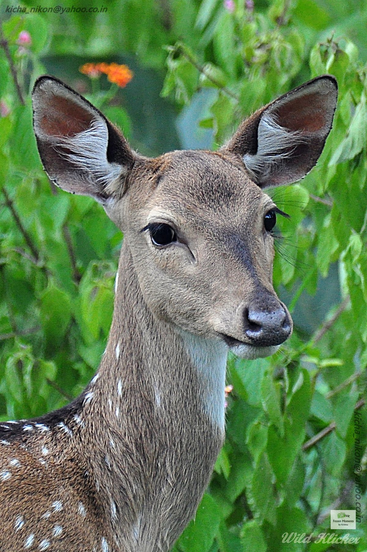 The chital or cheetal also known as r, spotted deer or