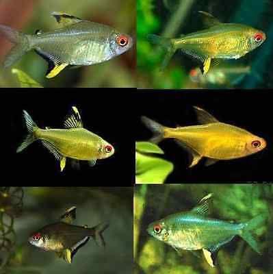 Large Lemon Tetra Hyphessobrycon Pulchripinnis Jpg 399 400 Tetra Fish Neon Tetra Aquarium Fish