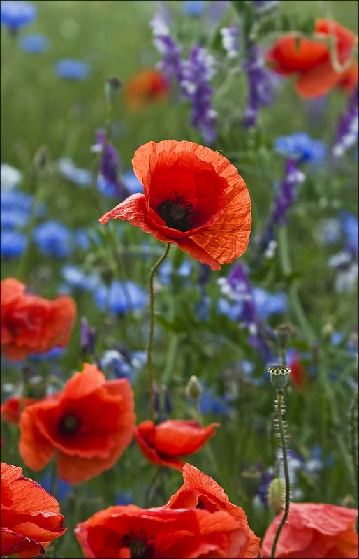 Mohnblume Mohnblume Schone Blumen Blumen Pflanzen