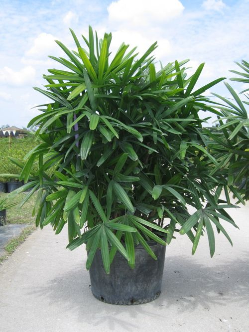8a1a67981301afbfd19141737e934978 Palm Tree Types Of Houseplants on types of indoor palms, types of bamboo houseplants, common palm houseplants, types of trees in florida, types of lily houseplants,