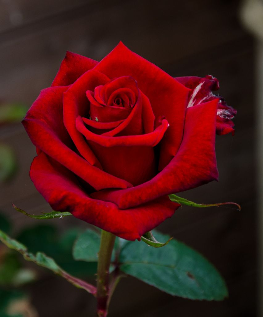 Resultado de imagem para red rose photography crafty - Red rose flower hd images ...
