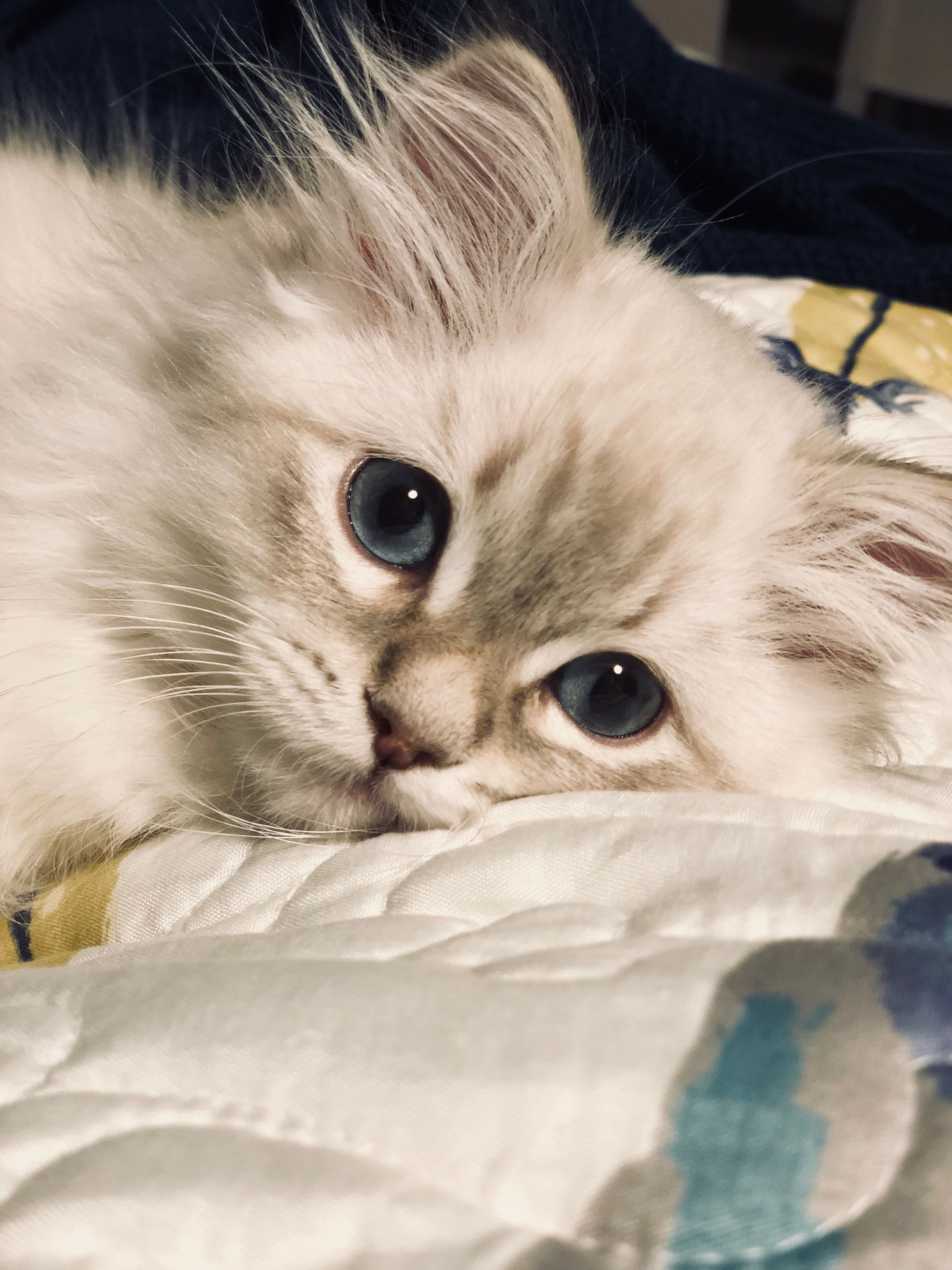 Siberian Cats Kittens for Sale Siberian Cats of CT