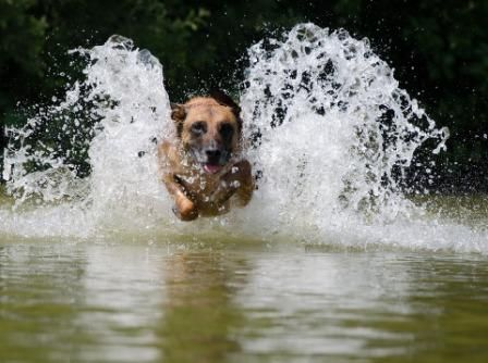 Family Pooch Claimed By Saltwater Crocodile Dog Died Malinois Belgian Malinois Dog