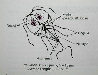 phylum sarcomastigophora characteristics
