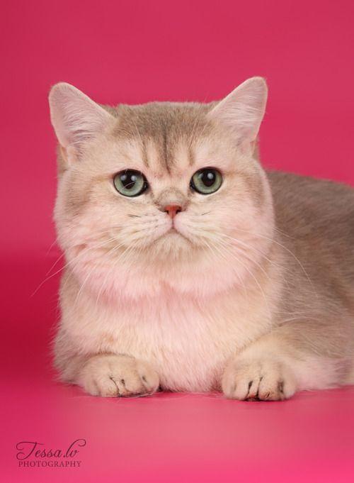 Blue Golden Shaded British Shorthair Cat Lovers British
