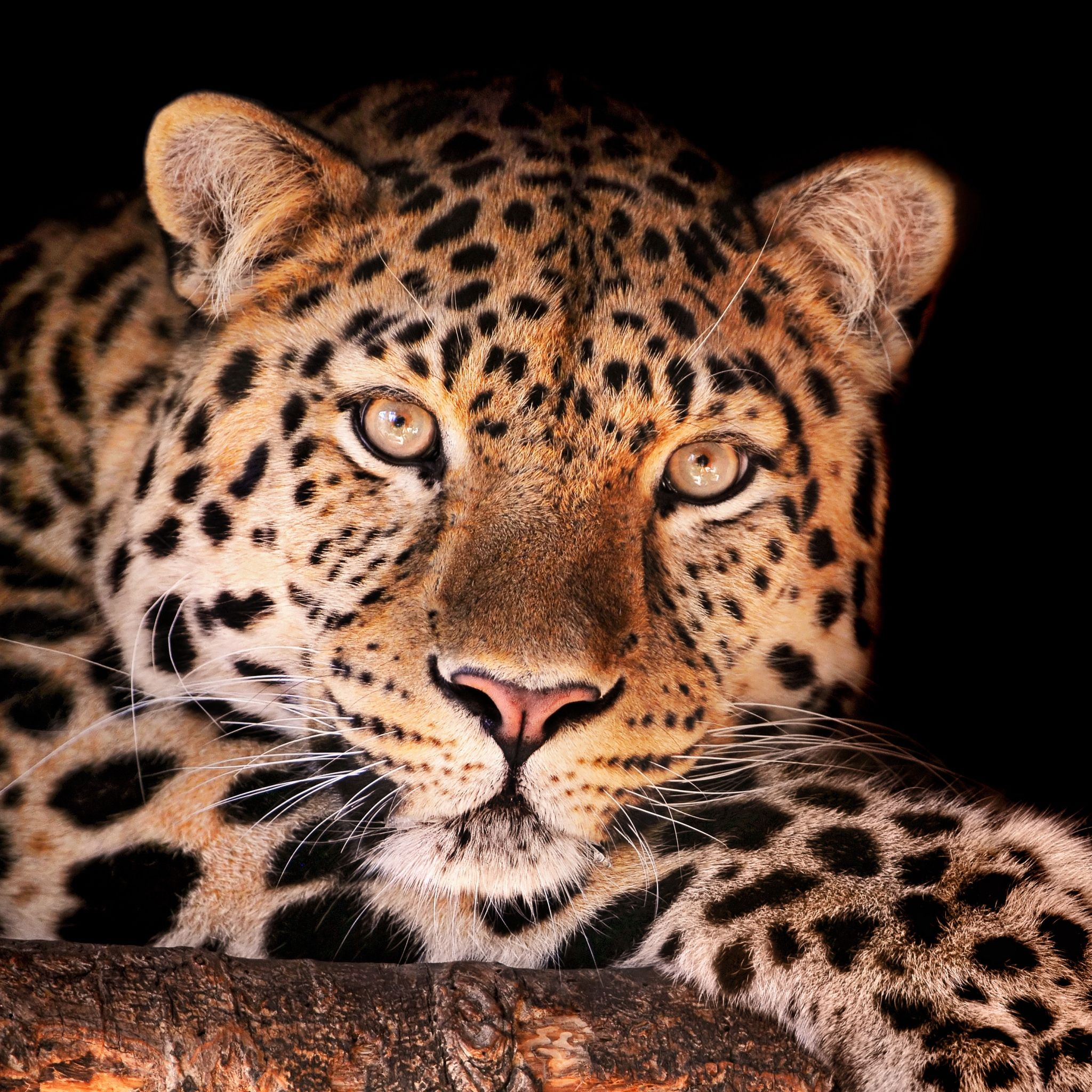 Leopard Face Dark Spotted X Wallpapers