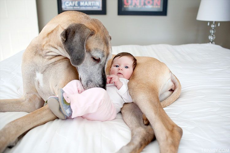 Great Dane And Baby Snuggle Baby Dogs Giant Dogs Big Dogs
