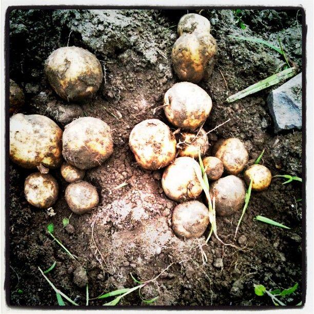 Our very own potatoes! Num num num... ;) @Annie Riechmann thx for documenting my life for me!