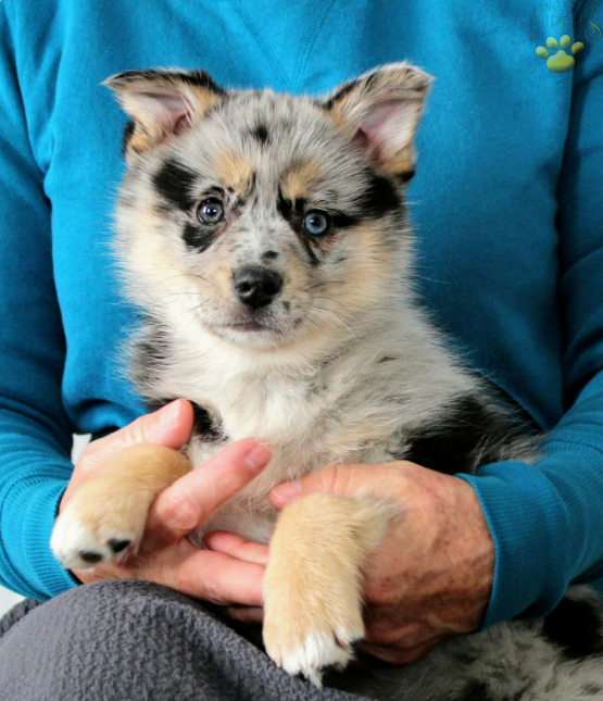 Willow Pomsky Puppy for Sale in apple creek, OH