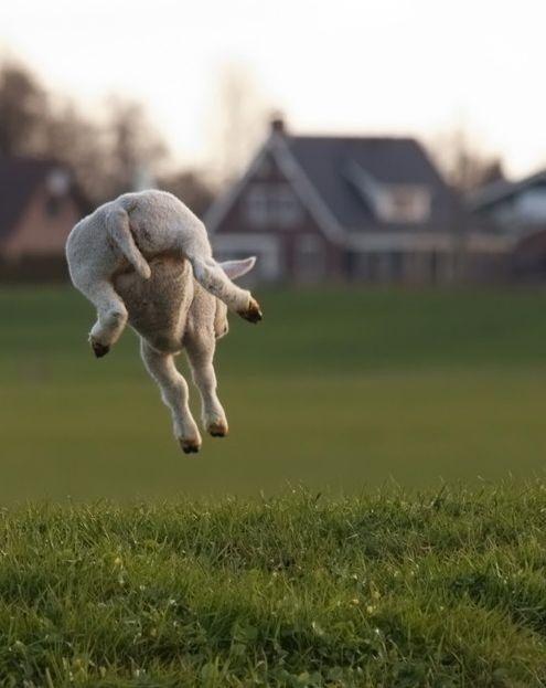little lamb ahh cute