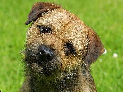 Border Terrier Price Temperament Life Span Border Terrier