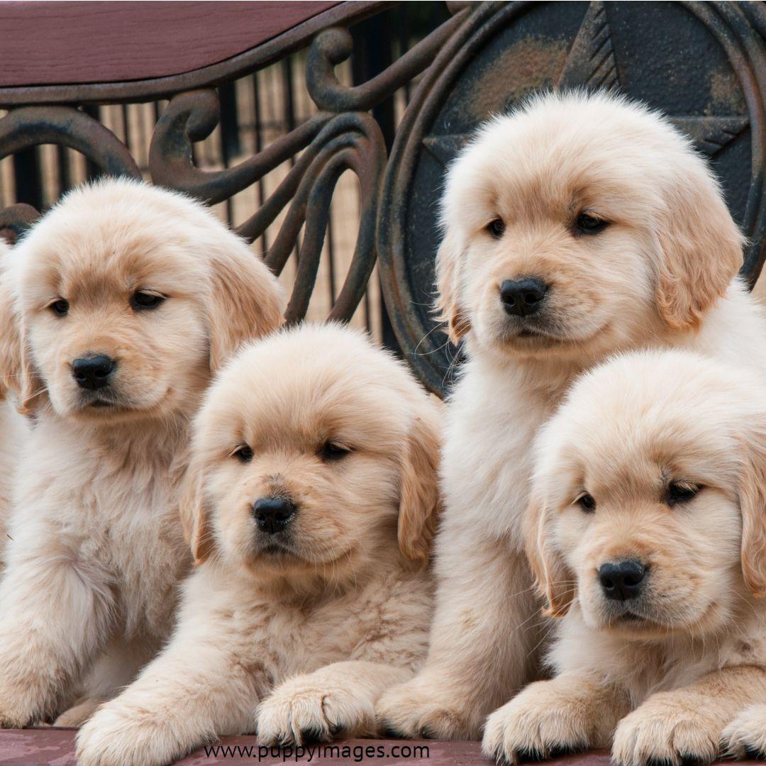 Golden Retriever Puppy Litter Puppy Litter Dog Lovers Puppies