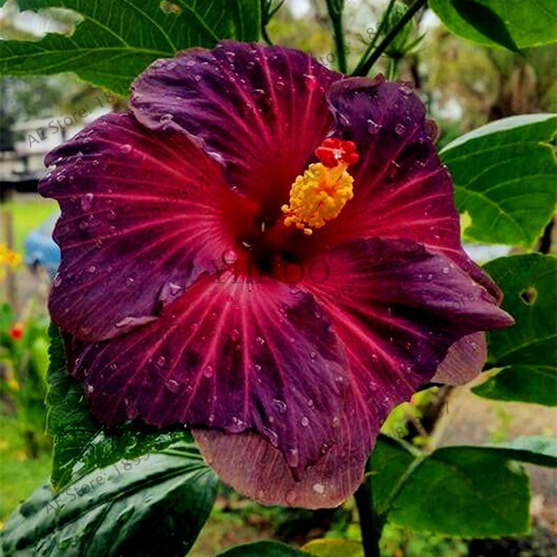 100pcs Bag Giant Hibiscus Flower Seeds Fleurs Hibiscus Planter Des Fleurs Hibiscus