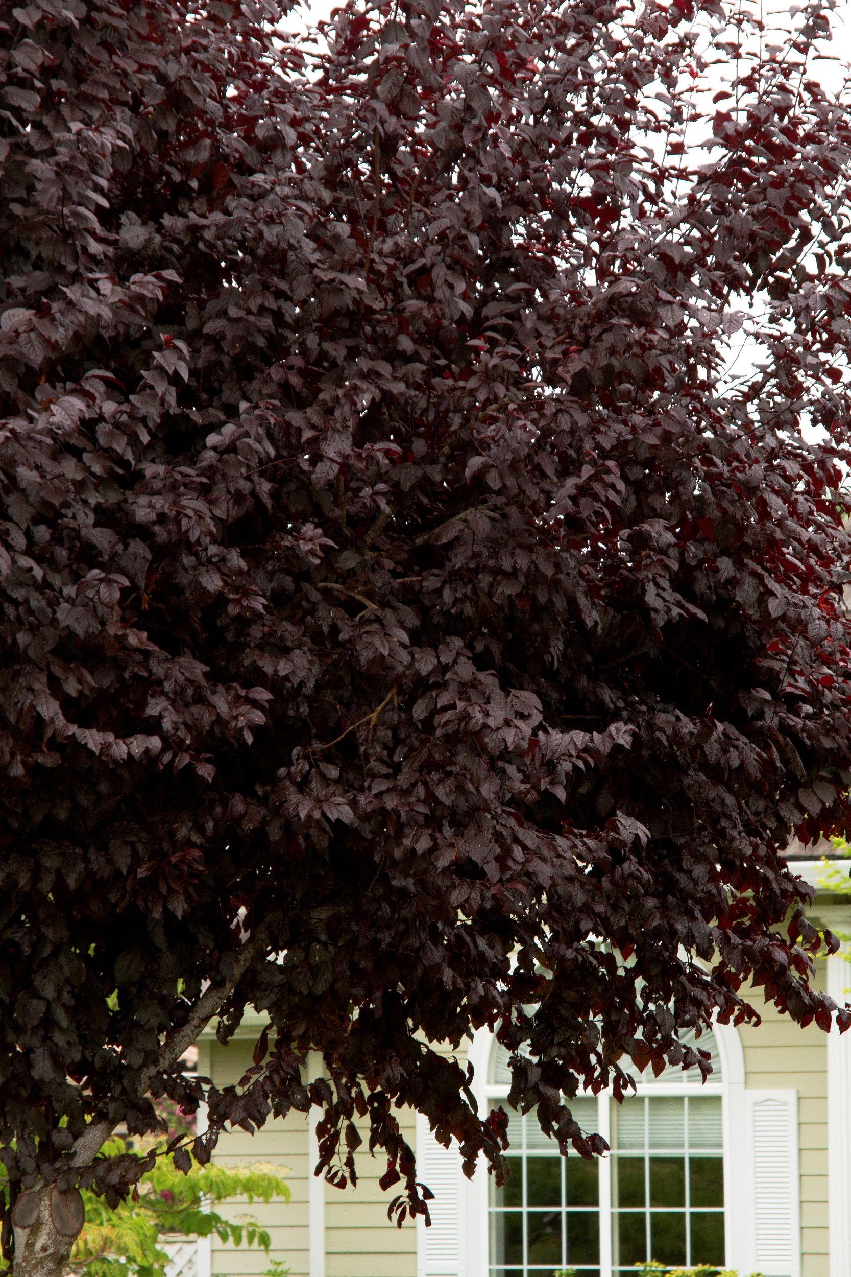 Purple leaf shrub with pink flowers - The Thundercloud Purple Leaf Plum Prunus Cerasifera Thundercloud Provides Shade And Plum Is