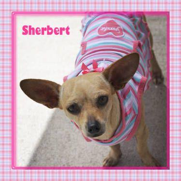 Sherbert Is A Female Orange Colored Chihuahua 2 Years Old