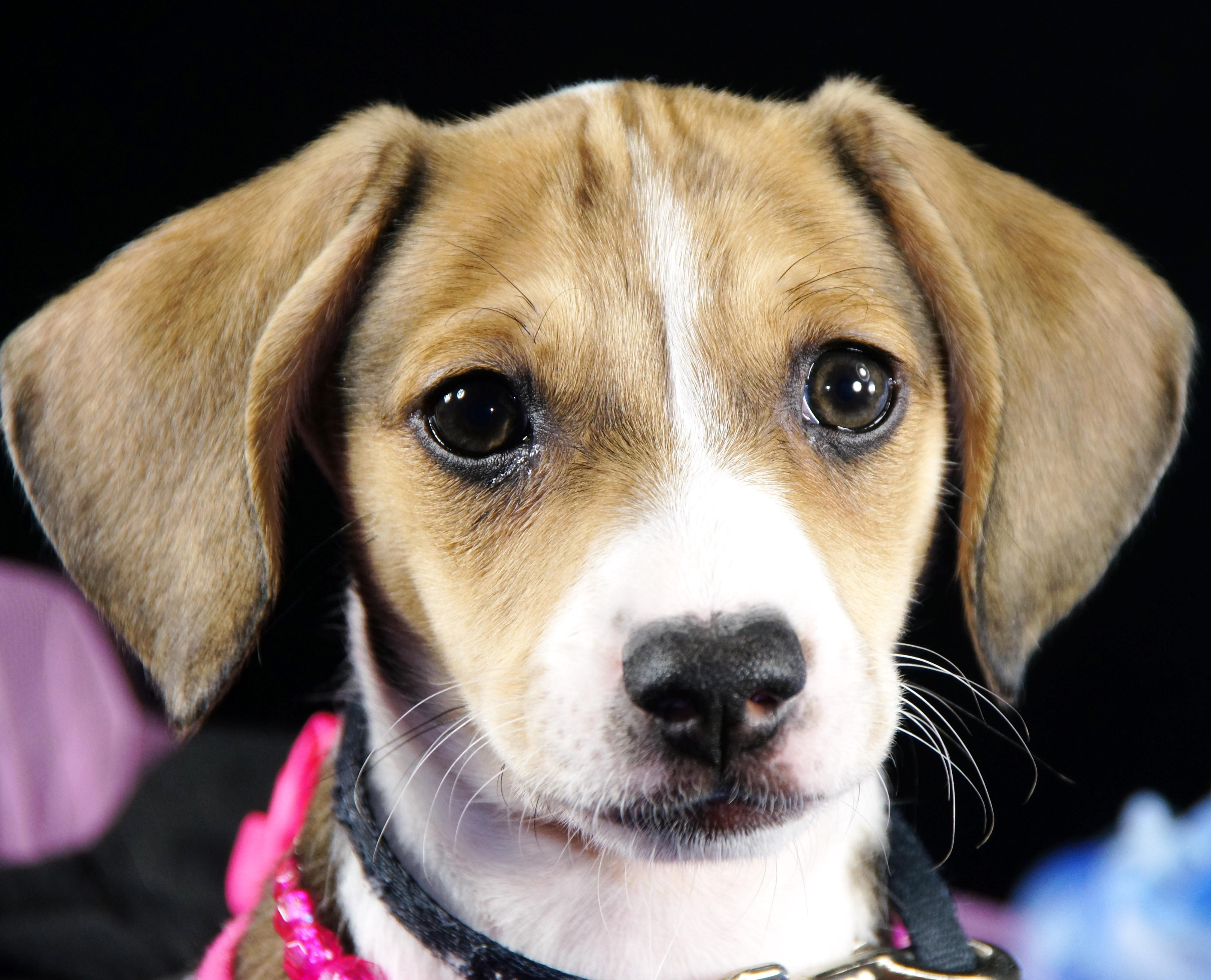 Adopt Foxy on Dogs, Vizsla, Animal rescue