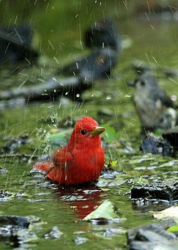 The little red bird wants to play in the rain and to get refreshed.