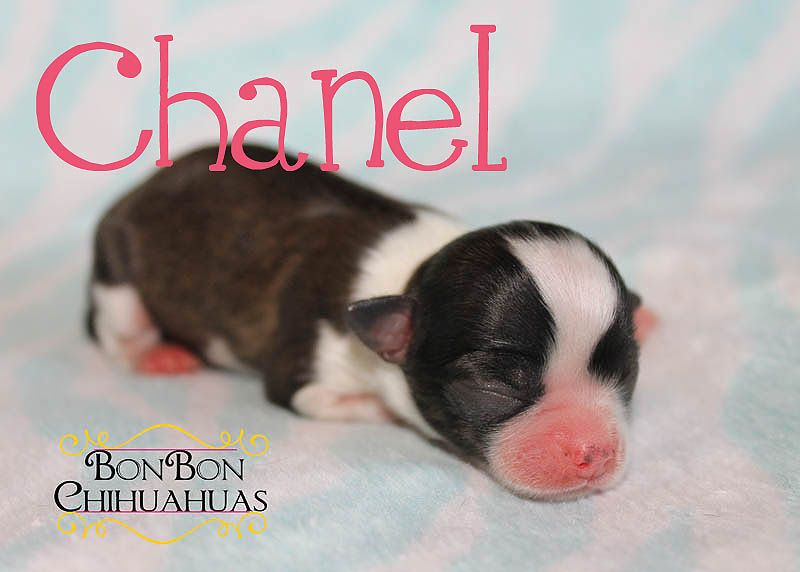 New Litters Chihuahua Puppies Chihuahua Love Dogs Puppies