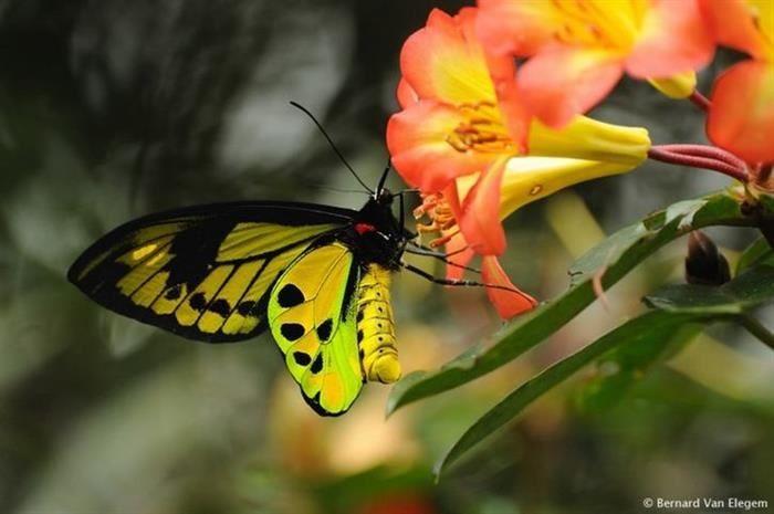 Mariposa Ornithoptera chimaera