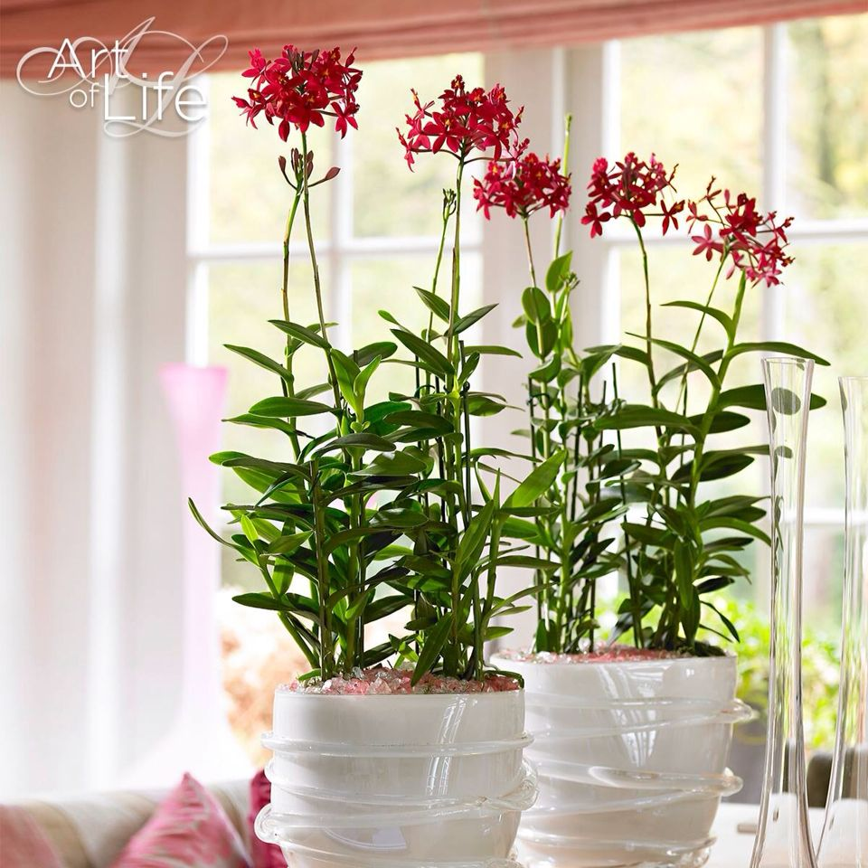 Pin by indra on orchids pinterest orchid