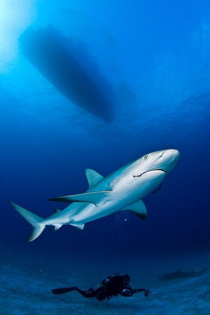 Sharks Made Me Famous : By Diver969