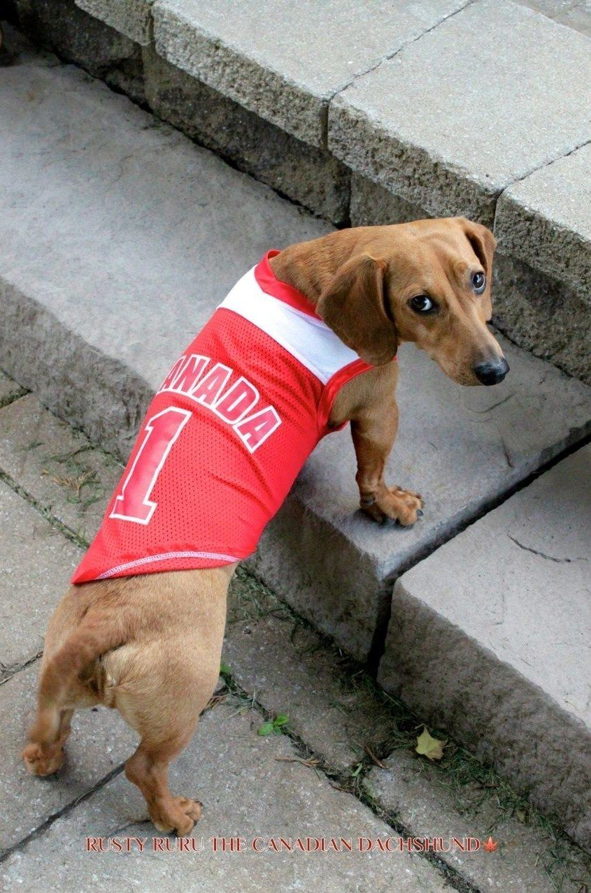 Nominates Rusty For A Seat In Parliament Weiner Dog Canada