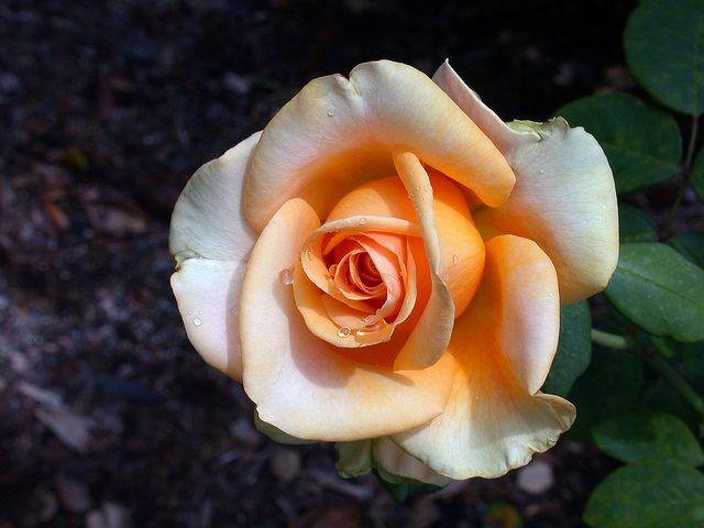 роза монро каталог - 11