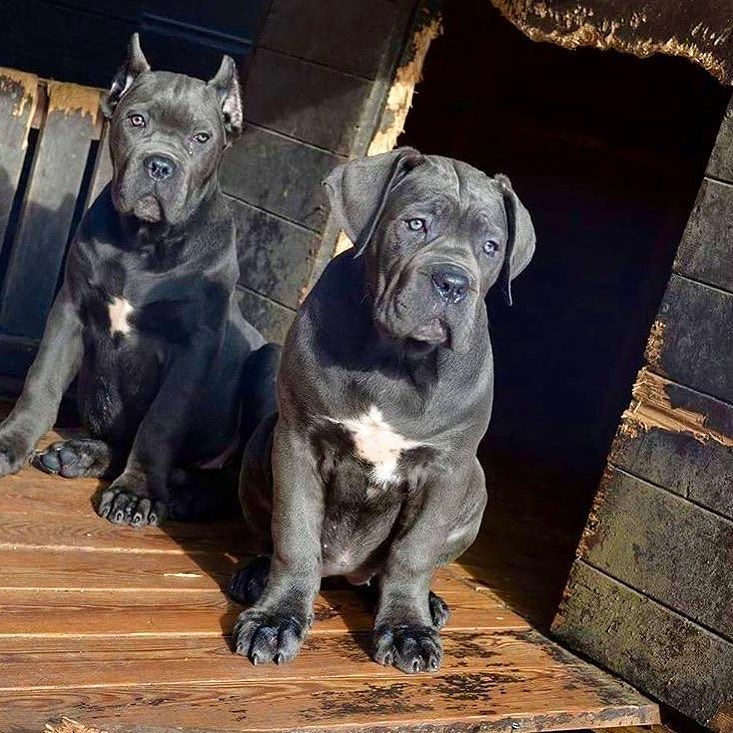 Give The Best Of You And The Best Will Came To You Fast Two Of My Lves Cane Corso The Best Breed Xmanbarcelona Ca Cane Corso Puppies Cane Corso Scary Dogs