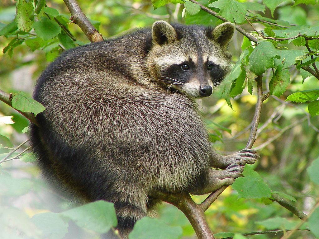 Raccoon Repellent How To Get Rid Of Raccoons And Keep