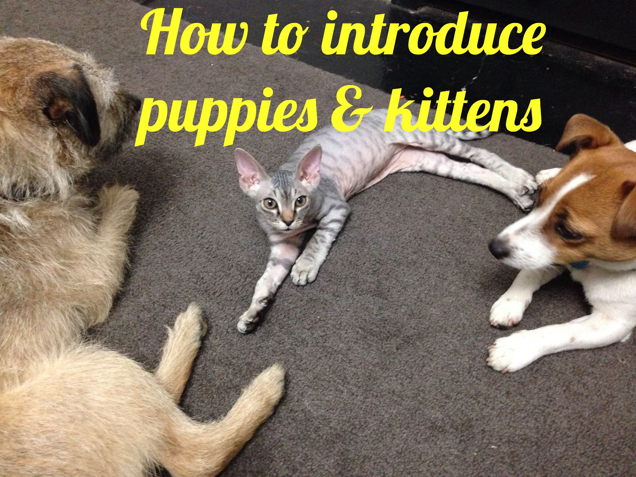 Introducing A Puppy Or Kitten To Cats Or Dogs