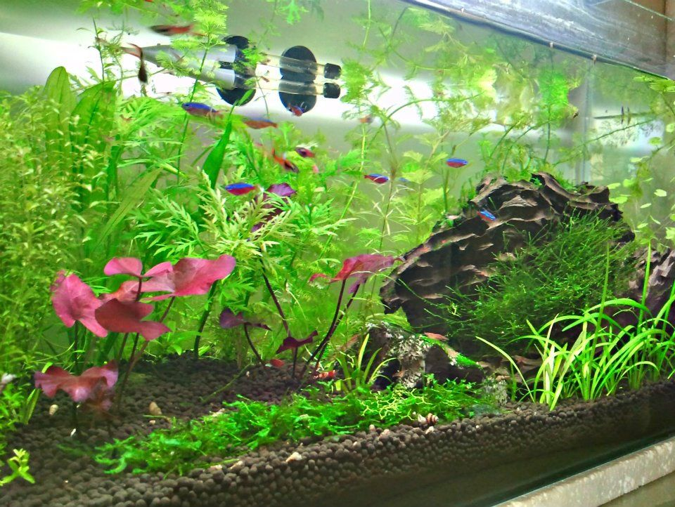 My Non Co2 Planted Red Cherry Shrimp Aquarium Planted Aquarium Aquascape Fish Tank