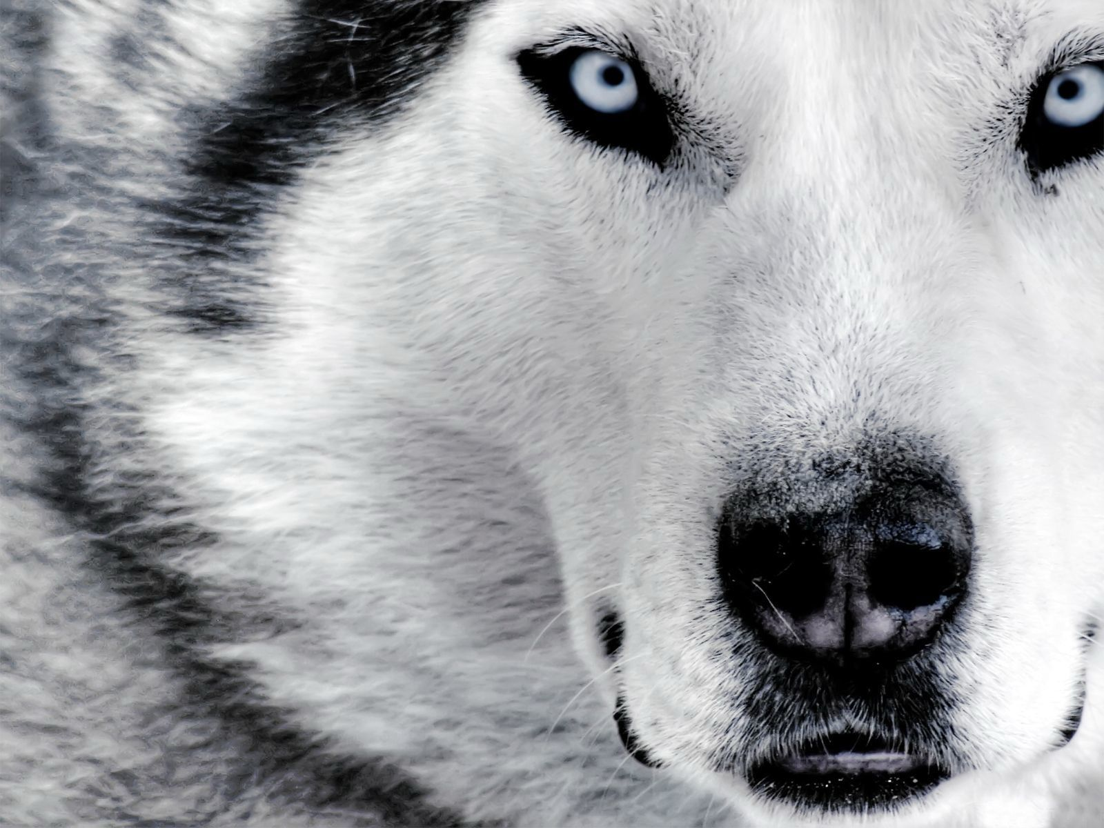 Wolves are gorgeous