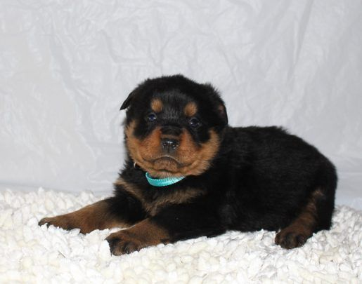 Chelsea Puppy For Sale Rottweilers Vip Puppies Rottweiler
