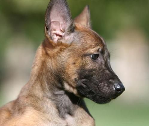 Pin By Sue Kingsbury On Belgian Malinois Belgian Malinois Dog Belgian Shepherd Dog Malinois Malinois Dog