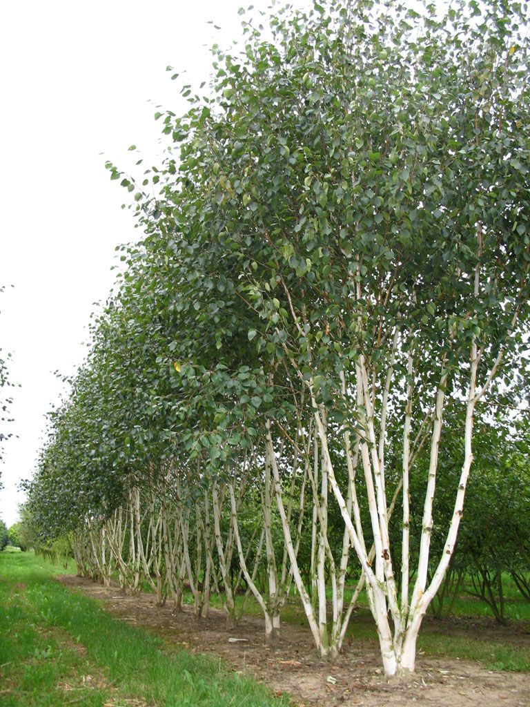 Betula utilis 39 doorenbos 39 multi stem london urban garden for Garden trees london