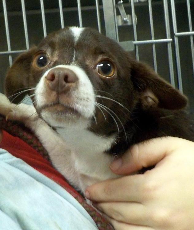 Adopt 31 Shrimp Adopted On Chihuahua Puppies Chihuahua